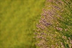 Las flores con los pétalos violetas en hierba verde ajardinan Fotos de archivo