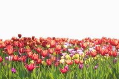 Las flores confinan aislado en el fondo blanco Imagenes de archivo