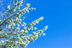 Las flores de Apple están floreciendo, en el cielo del fondo Imagen de archivo libre de regalías