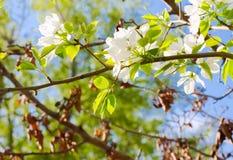 Las flores de Apple están floreciendo, en el cielo del fondo Imágenes de archivo libres de regalías