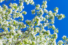Las flores de Apple están floreciendo, en el cielo del fondo Fotos de archivo