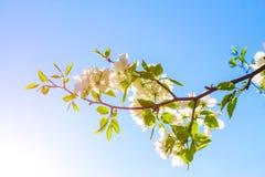 Las flores de Apple están floreciendo, en el cielo del fondo Fotografía de archivo
