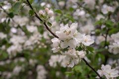 ?Las flores de Apple son hola a partir de primavera! foto de archivo libre de regalías