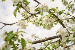 ?Las flores de Apple son hola a partir de primavera! fotografía de archivo libre de regalías