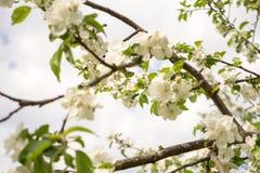 ?Las flores de Apple son hola a partir de primavera! imágenes de archivo libres de regalías