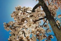 Las flores de cerezo blancas florecen debajo del sol y del cielo azul En la primavera en nikko Japón Imágenes de archivo libres de regalías