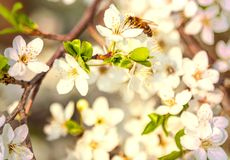 Las flores de cerezo blancas florecen el extracto de la primavera de la rama, abeja de la miel Fotografía de archivo
