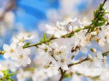 Las flores de cerezo blancas florecen el extracto de la primavera de la rama, abeja de la miel Imágenes de archivo libres de regalías