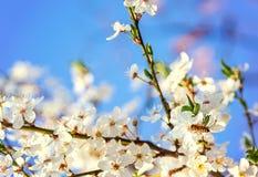Las flores de cerezo blancas florecen el extracto de la primavera de la rama, abeja de la miel Foto de archivo libre de regalías