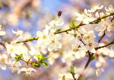Las flores de cerezo blancas florecen el extracto de la primavera de la rama, abeja de la miel Imagen de archivo libre de regalías