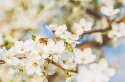 Las flores de cerezo blancas florecen el extracto de la primavera de la rama, abeja de la miel Imagen de archivo