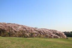 Las flores de cerezo en el parque de Negishi Shinrin fotos de archivo libres de regalías