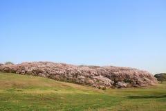 Las flores de cerezo en el parque de Negishi Shinrin imagen de archivo libre de regalías