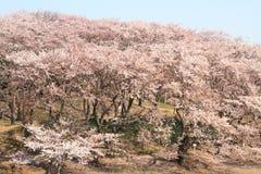 Las flores de cerezo en el parque de Negishi Shinrin fotografía de archivo libre de regalías