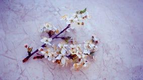 Las flores de cerezo en primavera Foto de archivo