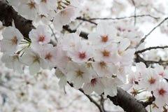 las flores de cerezo Lleno-florecidas en Kumagaya Arakawa Ryokuchi parquean en Kumagaya, Saitama, Japón Fotografía de archivo libre de regalías