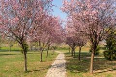 Las flores de cerezo y el t?nel rom?ntico de los ?rboles rosados de la flor de la cereza florecen y una trayectoria que camina en foto de archivo