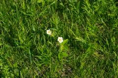Las flores de fresas en la primavera Fotografía de archivo