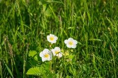 Las flores de fresas en la primavera Foto de archivo libre de regalías
