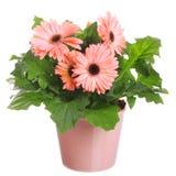 Las flores de Gerber en una maceta Fotografía de archivo libre de regalías