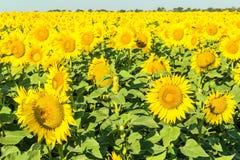 Las flores de girasoles amarillos se cierran para arriba foto de archivo libre de regalías