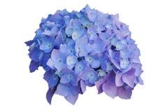 Las flores de hortensias azules, en blanco aislaron el fondo Foto de archivo libre de regalías