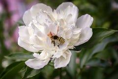 Las flores de la abeja de la peonía recogen el néctar Fotografía de archivo libre de regalías