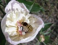 Las flores de la abeja de la peonía recogen el néctar Foto de archivo libre de regalías