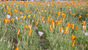 Las flores de la amapola de California en el primero plano y el fondo borroso se movieron por el viento metrajes