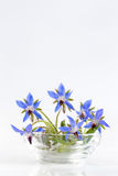 Las flores de la borraja se cierran para arriba (los officinalis del Borago Imagen de archivo