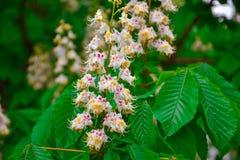 Las flores de la castaña se cierran para arriba, castaña floreciente imagen de archivo