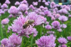 Las flores de la cebolleta cierran la visión con la abeja que recoge el polen Fotos de archivo