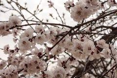 Las flores de la cereza se cierran para arriba en la primavera temprana Imagenes de archivo