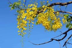 Las flores de la fístula de oro del árbol florecen contra azul Foto de archivo libre de regalías