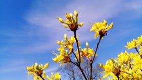 Las flores de la forsythia florecieron en mayo - foto de brotes debajo del cielo azul fotos de archivo