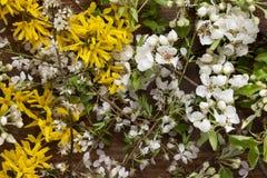 Las flores de la forsythia y el manzano todavía florece en fondo de madera como vida Imagen de archivo