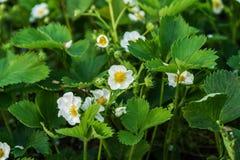 Las flores de la fresa en el campo crecen en un día soleado Imagen de archivo libre de regalías