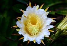 Las flores de la fruta del dragón son hermosas e interesantes de observar Imagen de archivo