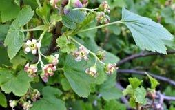 Las flores de la grosella negra Fotografía de archivo libre de regalías