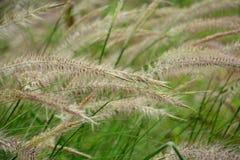 Las flores de la hierba Fotografía de archivo