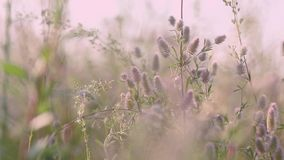 Las flores de la hierba del verano se cierran para arriba en el campo con el contraluz de la puesta del sol de la brisa ligera, t almacen de video
