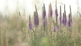 Las flores de la hierba del verano se cierran para arriba en el campo con el contraluz de la puesta del sol de la brisa ligera, t metrajes