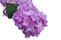 Las flores de la hortensia rosada, en blanco aislaron el fondo Fotografía de archivo libre de regalías