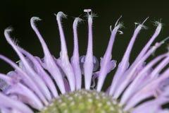 Las flores de la lavanda del bálsamo de abeja parecen bailarinas Foto de archivo libre de regalías