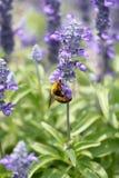 Las flores de la lavanda que florecen en jardín y la avispa recogen el néctar. Fotos de archivo libres de regalías