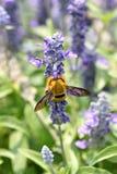 Las flores de la lavanda que florecen en jardín y la avispa recogen el néctar. Imagenes de archivo
