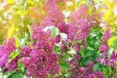 Las flores de la lila de la lila ramifican con las hojas verdes con Fotos de archivo libres de regalías