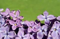 Las flores de la lila se cierran para arriba Fondo postal Imagen de archivo libre de regalías