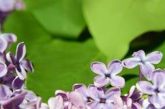 Las flores de la lila se cierran para arriba Fondo postal Foto de archivo