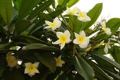 Las flores de la magnolia Foto de archivo libre de regalías